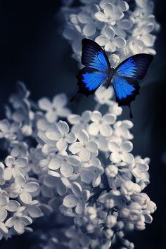 Blue Butterfly by Torstein Roenaas on 500px