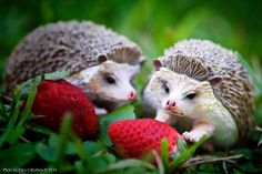 This photo was posted on our Facebook wall of these new Incredible Creatures Hedgehogs playing with some strawberries.  Send us your fan photo and pick out your Hedgehog today at www.safariltd.com