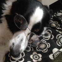 Intellectual Collie (Phoebe)