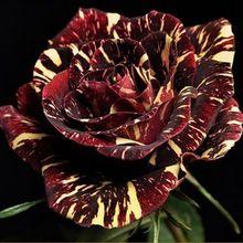 20 Abracadabra Roseira Sementes Ornamentais Belo Jardim Varanda de Flores Deslumbrantes(China (Mainland))