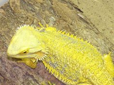 Mature bearded dragon for sale