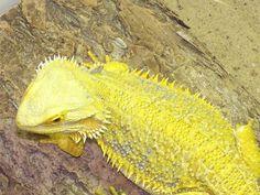 bearded dragon... want one!