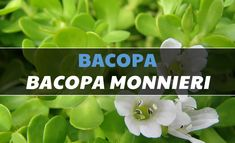 Bacopa (Bacopa monnieri) Uses, Side Effects, Interactions & Dosage - ClearCogni Brain Supplements, Weight Loss Supplements, Brain Health, Best Diets, Side Effects, Healthy Weight, Home Remedies, Organic Gardening, Natural Health