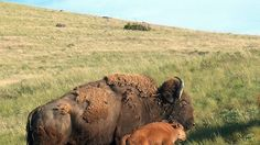 ★ Delicious Brown ★ Petition · Please Stop the BISON Slaughter NOW !!! · Change.org