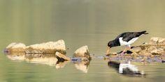 posted a photo: Oystercatcher on rumworth Lodge. Birds, Nature, Animals, Naturaleza, Animales, Animaux, Bird, Animal, Animais