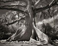 arbre majestueux 3