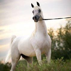 ROHARA EXTREM JUSTICE (US) 2010 Arabian grey stallion. WH Justice {Magnum Psyche x Vona Sher-Reana by El Sher-Mann} × Van Alyssa {Don El Chall x Malika Van Ryad by Ryad El Jamaal} Owned by Stonewall Farm & Quintessa Farm Arabians, Scottsdale, Arizona, USA.