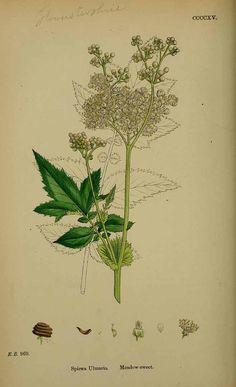 scientificillustration:    Filipendula ulmaria - meadowsweet  Sowerby, J.E., English Botany, or Coloured Figures of British Plants, 3th ed., vol. 3: t. 415 (1864)