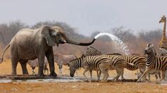 Bath day ... Elephants, zebras, giraffes
