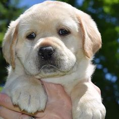 LAB PUPPIES Reputable and Passionate Labrador Retriever Breeder in New York: We breed our Labrador puppies in our home for the Love of the Labrador Retriever breed. Black Labrador Retriever, Golden Retriever, Labrador Retriever Dog, Labrador Dogs, Lab Puppies, Cute Puppies, Cute Dogs, Animals Beautiful, Cute Animals