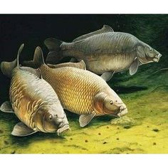 Painting By Numbers DIY Dropshipping Three squids in the water Animal Canvas Wedding Decoration Art picture Gift Carp Fishing, Fishing Tips, Carpe Commune, Common Carp, Carp Tackle, Fish Artwork, Fish Wallpaper, Fish Drawings, Water Animals