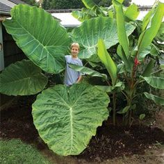 This large elephant ear known as colocasias esculenta 'Thailand Giant Strain' is extraordinary in its leaf size and structure.