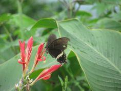 A beautiful black butterfly