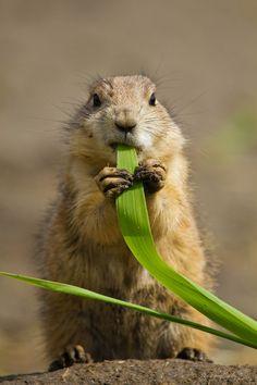Bon Appetit - Prairie Dog