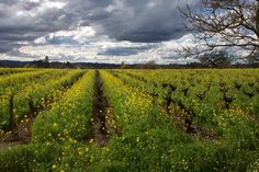 Olivet Rd, Santa Rosa, CA vineyard w/mustard and storm rolling in. Russian River Valley.
