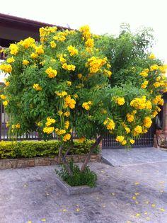 Ipê-amarelo-da-serra árvore nativa da Mata Atlântica brasileira ❤️