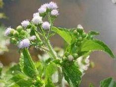 Mentrasto | Plantas Medicinais - Cultivando.com.br