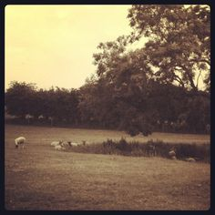 Bah sheep grazing & taking shade under the tree on a hits summer day