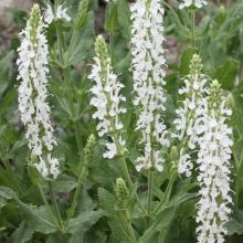 Snow Hill Sage for sale buy Salvia x sylvestris 'Schneehugel'