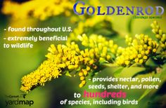 Goldenrod provides nectar, pollen, seeds, shelter, and places to lay eggs to hundreds of species of wildlife, including birds, bees, spiders, butterflies, and moths. Insects and small mammals eat the leaves and stems. Many people view goldenrod as a weed, but wildlife gardeners know better. Keep clumps of goldenrod throughout your property, leave them standing in winter and you'll see that they are always buzzing with activity. Find native goldenrod in your area:  http://bit.ly/1q0qEHA