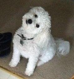 Bild från http://cdn-www.dailypuppy.com/dog-images/brady-the-bichon-frise-4_65179_2012-04-03_w450.jpg.