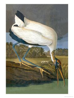 Wood Stork Posters by John James Audubon - AllPosters.ca