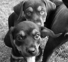 Brown lab rottweiler mix puppies