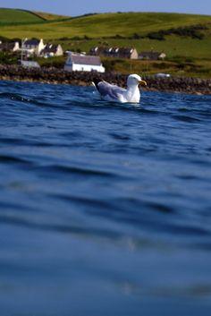 Floating gull Scotland