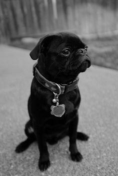 Cute black pug
