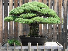 How to care indoor and tropical plants - The journal of a plant: Bonsai - plant care