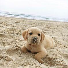 From @bigmacthelabrador: Im the sea dog  #cutepetclub [source: http://ift.tt/2kARIAY ]