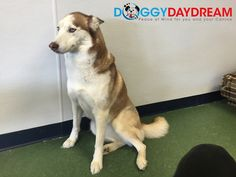 Sienna the Husky is our dog of the day! #dogoftheday #doggydaydream #doggydaycare #dogs #dogsofinstagram #dogstagram #instadog