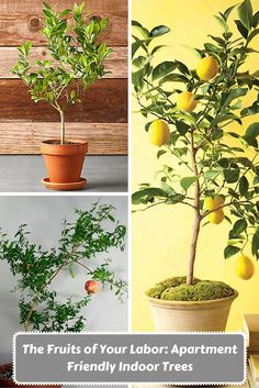 The Fruits of Your Labor: Apartment Friendly Indoor Trees | Indoor ...