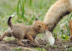 Fox kit has Mom's tail...