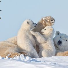"Photo by @DaisyGilardini // Mother polar bears are noted for both their affection towards their offspring, and their valor in protecting them. This mother showed great patience while her two cubs played and jumped all over her. When we found her, she was in what is called a ""day den,"" resting her cubs on the way to the pack ice of Hudson Bay to hunt baby seals. Wapusk National Park, Manitoba, Canada"