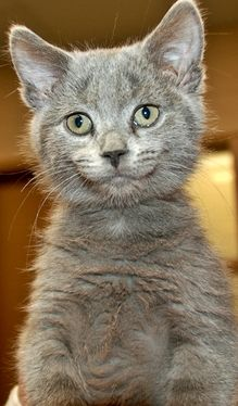 Lilly - I'm a very friendly little kitty that loves to play and explore. I'm not yet spayed but I am frontlined, microchipped and started on vaccinations. Sioux Falls Area Humane Society