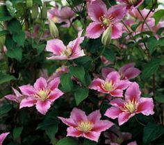 Clematis Piilu - this would look so awesome and obnoxious with my Christopher Marlowe and my Wiliam Shakespeare 2000 roses.