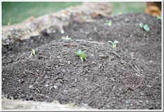 the very start of our summer squash plants in our new raised cedar bed
