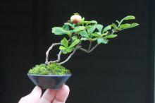 「 大きくな~れ! 」の画像|超ミニ盆栽のブログ|Ameba (アメーバ)