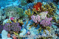 Acropora Coral Fire Coral