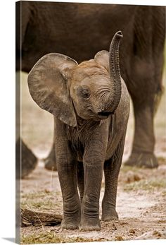 size: Photographic Print: Baby Elephant Poster by Martin Harvey : Mother And Baby Elephant, Cute Baby Elephant, Cute Baby Animals, Baby Elephants, Giraffes, Tortoise As Pets, Tortoise Food, Elephant Poster, Elephant Wall Art