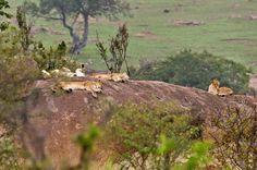 Imagen de http://photos.travellerspoint.com/435774/large_Lions_on_Kopje_3.jpg.