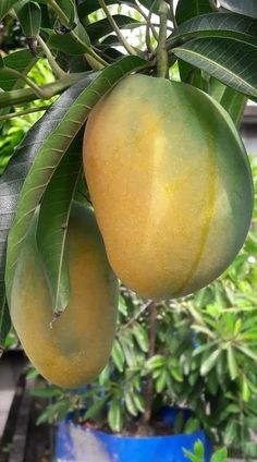 trendy fruit and vegetables photography food Mango Fruit, Fruit And Veg, Mango Tree, Fresh Fruit, Fruits And Vegetables Pictures, Vegetable Pictures, Fruits And Veggies, Fruits Basket, Fruit Plants