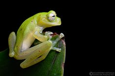 Beautiful and delicate...  ...this Giant Glass Frog (Nymphargus grandisonae) looks as if it would easily break if handled.    2011 © Alejandro Arteaga