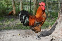 Rooster, Poultry, Animals, Bird