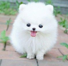 Another Pomerian. Omg. 💗