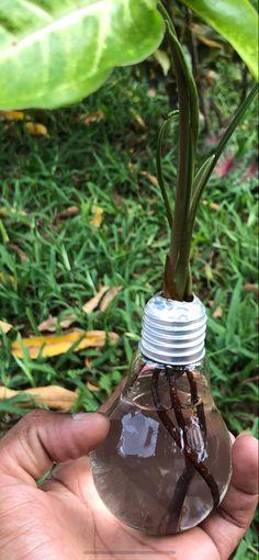 Light Bulb Plant, Planting Bulbs, Plant Leaves, Plants, Plant, Planets