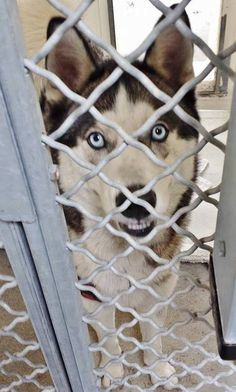 ADOPTED --- He is 10 months and stunning and he really wants to go home. Please SHARE, a FOSTER would save his life. Thanks!  #A4806289 I'm an approximately 10 month old male siberian husky. I am not yet neutered. I have been at the Carson Animal Care Center https://www.facebook.com/171850219654287/photos/pb.171850219654287.-2207520000.1426030855./380373218801985/?type=3&theater