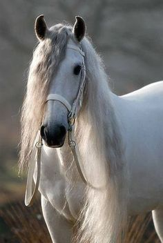 Beautiful white horse with a long mane - Portfolio Paardenfoto's « Hypo Focus Paardenfotografie Animals All The Pretty Horses, Beautiful Horses, Animals Beautiful, Cute Animals, Andalusian Horse, Friesian Horse, Arabian Horses, Majestic Horse, White Horses