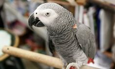 'Don't shoot': pet parrot's words may be used in Michigan murder trial | US news | The Guardian